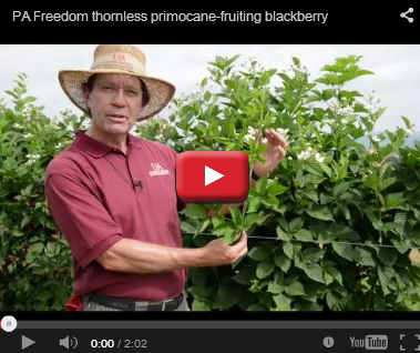 Primocane-Fruiting Blackberry