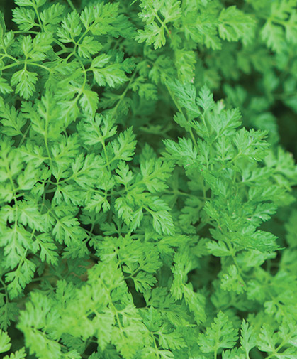 Chervil plants, a tradition in the French herb garden; use finely-cut leaves with a subtle, slightly anise-like flavor for seasoning.