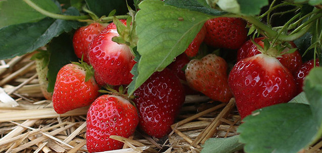 Johnny's Strawberry Harvest Program