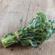 De Cicco Sprouting Broccoli