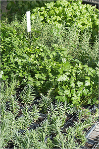 Assortment of Container Herbs for Sale