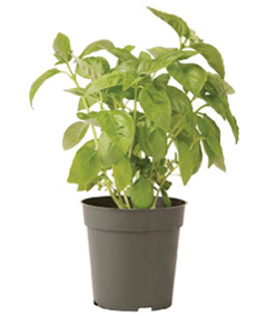 Container-grown Italian Large Leaf Basil Plant