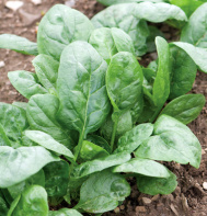 Corvair Organic Spinach Seeds