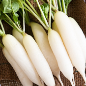 White Icicle Radish