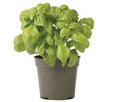 Container-grown Everleaf Basil Plant