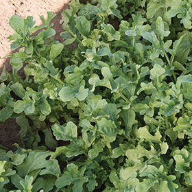 How to Grow Arugula