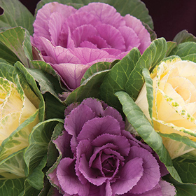 How to Grow Ornamental Kale