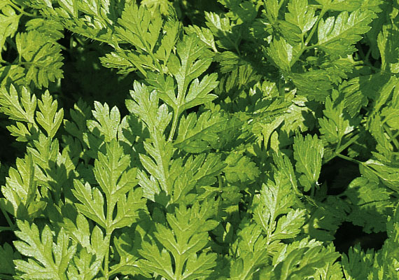 Chervil is venerated by the French - Longue vie au cerfeuil!