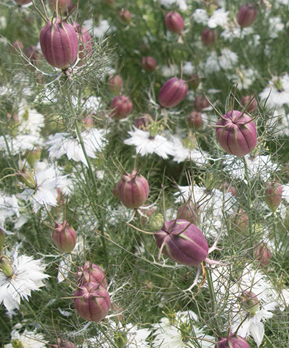 Nigella, commonly known as love-in-a-mist, has been grown in English cottage gardens since Elizabethan times.