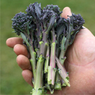 Santee Sprouting Broccoli