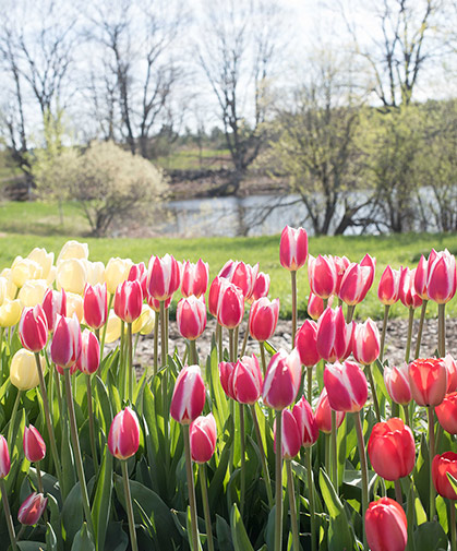 Tulips (Tulipa spp) are easy-to-grow spring-flowering bulbs for annual cut-flower production; some types are also amenable to naturalization/perennialization.