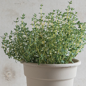 How to Grow Thyme Seed Disks
