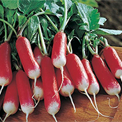 French breakfast radishes are a good winter crop.