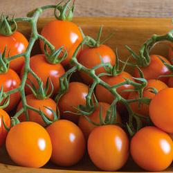 Clementine = Johnny's-Bred Orange Cocktail Tomato