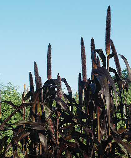 Ornamental millet, with its tall, plum-colored spikes, serves as a striking design element.