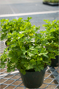 Titan Parsley - specialty flat-leaf variety