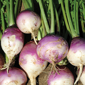 How to Grow Purple Top Turnips