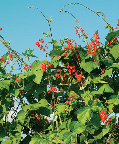 An attractive planting of scarlet runner bean vines  some can reach as high as 9 feet or more.