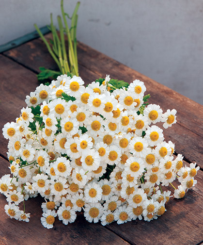 A bouquet of matricaria (feverfew) flowers, popular as a cut flower and for its traditional medicinal uses.