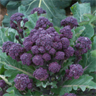 Red Fire Purple Sprouting Broccoli