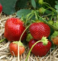 Galletta Strawberry Plants