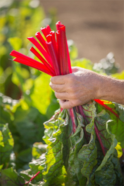 The leaves stay vibrant green and the stems are consistently a rich red color, according to Dr. Navazio.