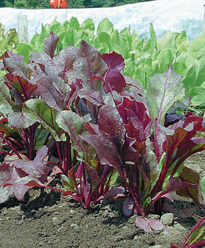 Beets grown from pelleted seed, for ease of handling, uniform plantings, and minimal thinning.