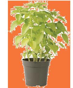 Container-grown Mrs. Burns's Lemon Basil Plant