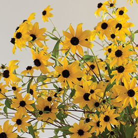 How to Grow Rudbeckia (R. triloba)