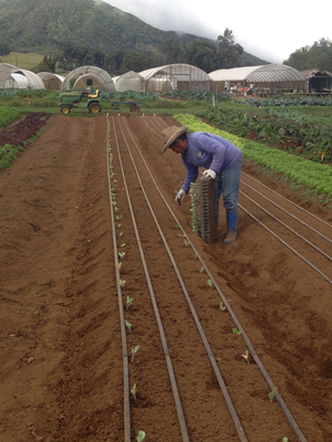 Transplanting broccoli into irrigated fields in Hawai'i