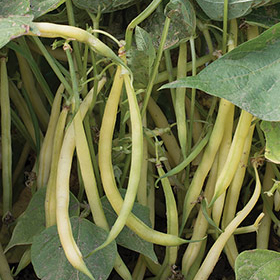 How to Grow French Filet Beans