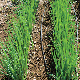 How to Grow Bunching Onions (Scallions)