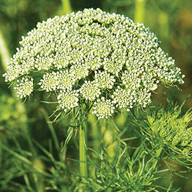 How to Grow Ammi / Daucus