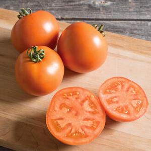 Determinate tomato BHN 871