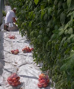 Tomato Trial Harvest