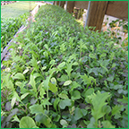 Hydroponic Microgreens Production