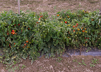 Organic Defiant Tomatoes on Basketweave Trellis