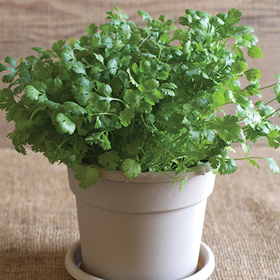 How to Grow Cilantro Seed Disks