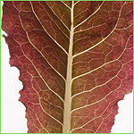 Outredgeous - Solid Bright-Red Baby Leaf Romaine