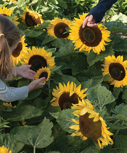 Neither children nor adults can resist the allure of a patch of sweet dwarf sunflowers.