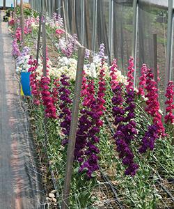 Hortonova Flower Trellising