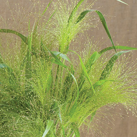 How to Grow Frosted Explosion Ornamental Grass