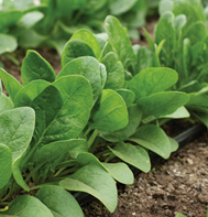 Auroch Spinach Seeds