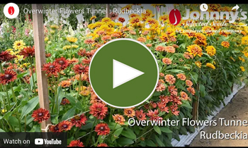 View Our Overwinter Flower Tunnel Rudbeckia Video