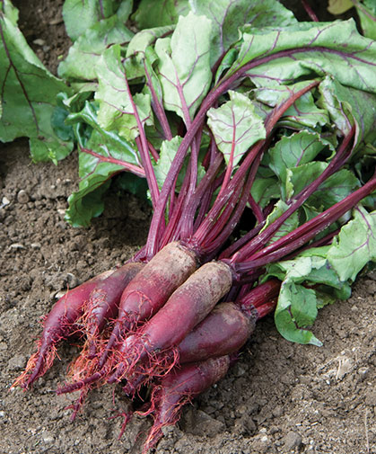 A half-dozen freshly harvested, cylindrical beet roots with their nutrient-dense tops still attached.