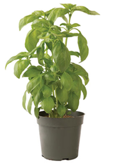 Container-grown Aroma 2 Basil Plant