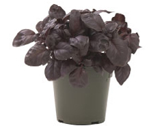 Container-grown Amethyst Improved Basil Plant