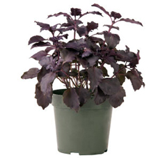 Container-grown Dark Opal Basil Plant