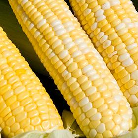 Bulk Corn Seed