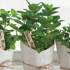 How to Grow Mint from Vegetative Plugs